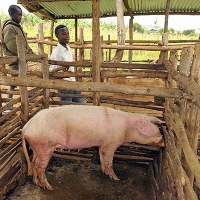 varkens uganda